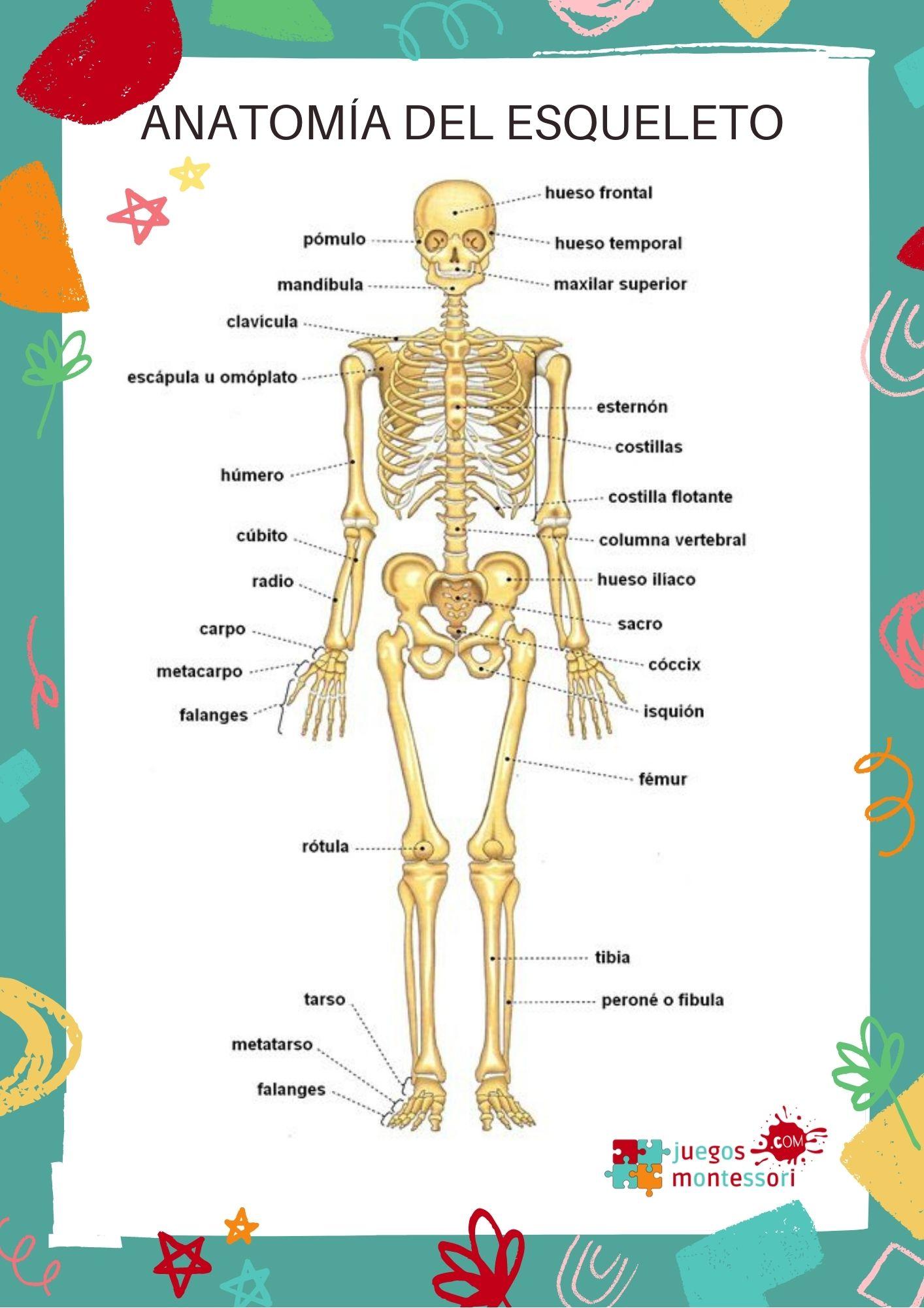 Fichas del Esqueleto humano para niños | Imprimir en PDF